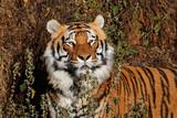 Portrait of a Bengal tiger (Panthera tigris bengalensis) in natural habitat, India.