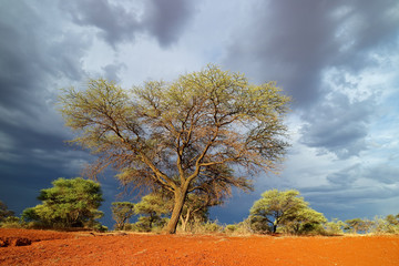 African savannah landscape against a dark sky of an approaching storm, South Africa. © EcoView