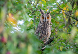 Long eared owl in branches - 227746596