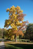 large maple tree with golden and red autumn leaves in a sunny park against the blue sky - 227769389