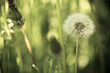 White fluffy dandelions, natural green blurred spring background, selective focus.Toned.