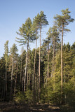 coniferous forest with high pines and spruces against the blue sky, vertical - 227771572