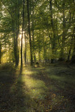 beautiful deciduous forest with green foliage in the warm evening light with sunrays, vertical - 227772304