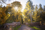 autumn forest in golden sunbeams with stacks of felled tree trunks - 227772707