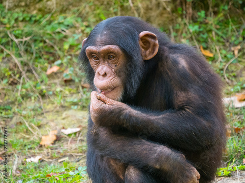 Naklejka Chimpanzé