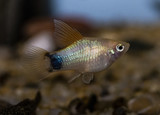 Platy (Xiphophorus maculatus) in freshwater aquarium