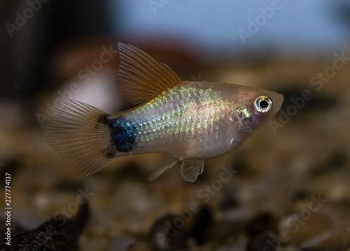 Platy (Xiphophorus maculatus) w akwarium słodkowodnym