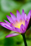 Lotus flower plants