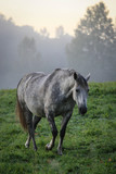 A grey pregnant mare in the morning mist