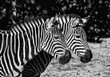 Two young zebras in the zoo. Safari animals