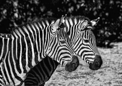 Two young zebras in the zoo. Safari animals - 227787363