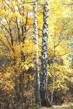 beautiful scene with birches in yellow autumn birch forest in october among other birches in birch grove - 227789388