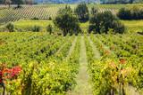 vignes en Luberon