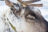 Sleeping reindeer with his eyes closed on winter camp in Siberia. - 227797107