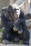 Chimpanzee sitting on a tree trunk