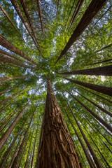 Sequoias in Cabezon de la Sal, Spain. View from below.