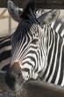 Close up of a Zebra Head