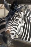 Close up of a Zebra Head - 227817391