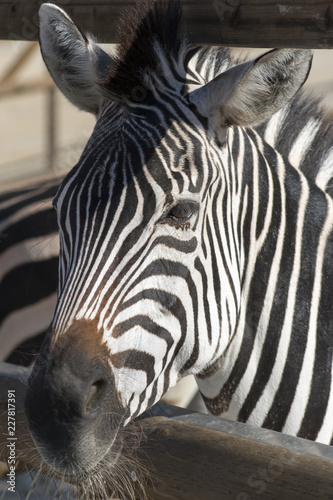 Poster Close up of a Zebra Head
