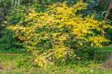 A beautiful young small branchy ash tree with gold and yellow leaves on the green trees background in a park in autumn