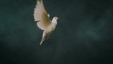 Dove of hope. Slow motion. Side view. - 227823997