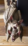 Bats hanging wall - 227826122