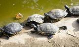 Turtles in lake - 227826179
