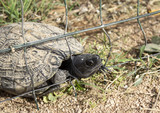 Turtles trapped in fence - 227826180