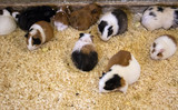 Guinea pigs on farm - 227826311
