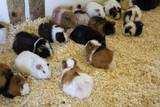 Guinea pigs on farm - 227826316