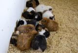 Guinea pigs on farm - 227826338