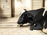 Cow on farm - 227826372