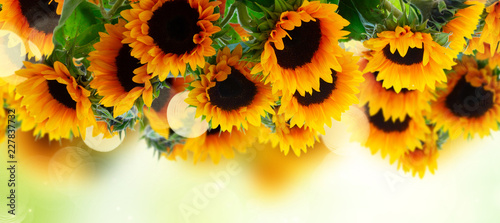 Foto Murales Fresh sunflowers over green garden background banner with copy space