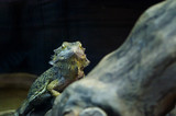 Green guana looking at you through the glass in the Kiev zoo