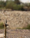 burrowing owl on post near artificial burrow - 227847906