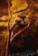 Dramatic Oak trees lit by a city light
