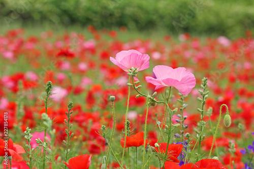 Two pink poppy flower - 227854178