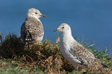 two young sea gulls in a natural setting by the ocean