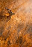 impala ram in the bush - 227857738