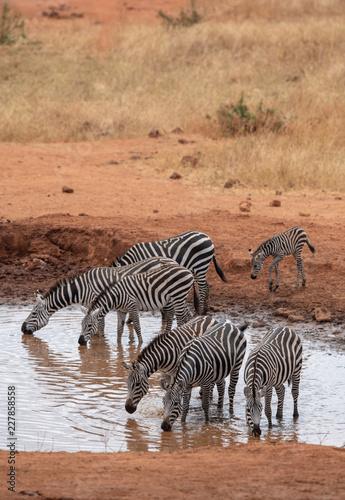 Zebras drinking water