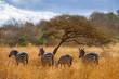 Zebras under trees