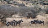 Zebras under trees - 227859980
