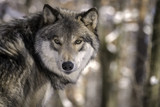 Timber Wolf (Gray Wolf or Grey Wolf) in the Snow