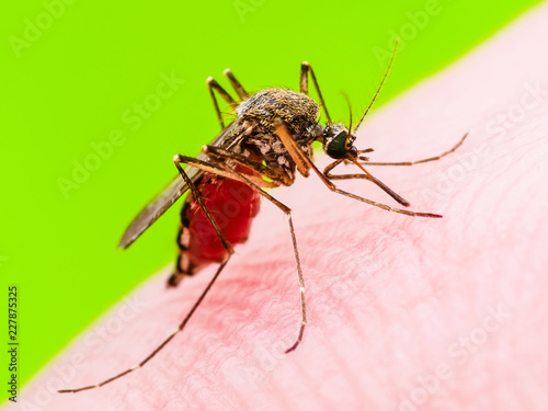 Yellow Fever, Malaria or Zika Virus Infected Mosquito Insect Macro on Green Background - 227875325