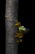 Cape York Graceful Treefrog (Litoria bella) on tree trunk