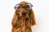 Intelligent Cocker Spaniel dog with eyeglasses isolated on white - 227881544