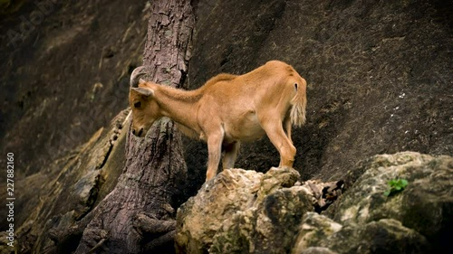 Poster mountain goat on rock