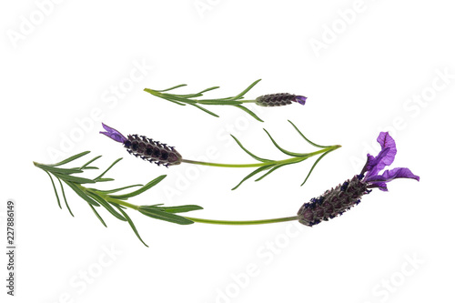 garden lavender isolated on white background with copy space above