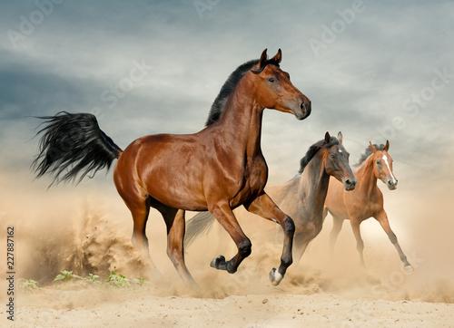 Fototapety, obrazy : Herd of wild beautiful horses