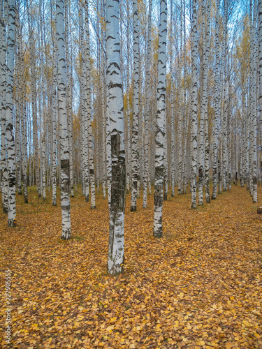 Autumn birch grove. Golden autumn, fall foliage, birch forest. - 227905555